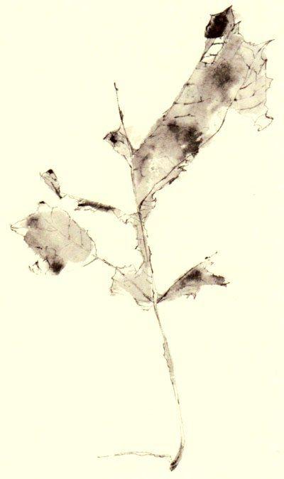 Frederick Franck - Leaf