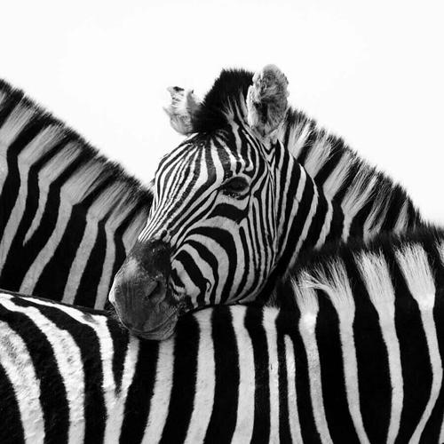Nina Papiorek: Namibia Zebras iii