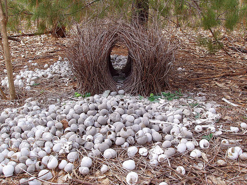 The Awakened Eye - Bowerbird bower 1