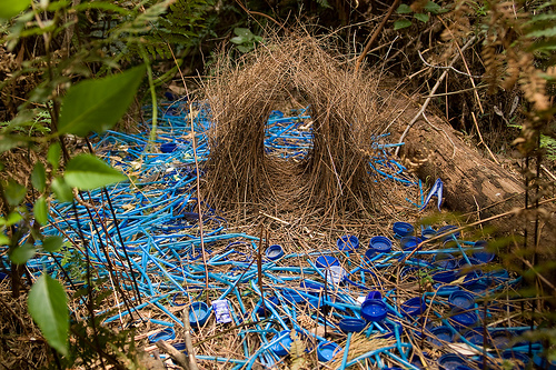 The Awakened Eye: Bowerbird bower 3