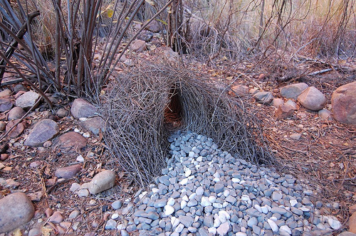 The Awakened Eye - Bowerbird bower 4
