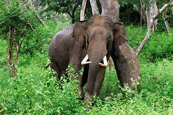Elephant, Gurukula Botanical Sanctuary